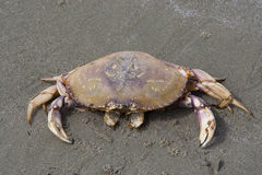Dungeness Crab on Beach Royalty Free Stock Photography
