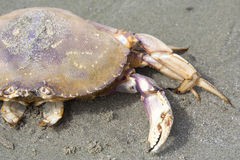 Dungeness Crab on Beach Stock Photos
