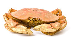 Dungeness Crab Isolated on White Royalty Free Stock Image