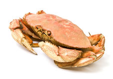 Dungeness Crab Isolated on White Royalty Free Stock Photo