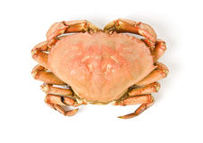 Dungeness Crab Isolated on White Stock Photography