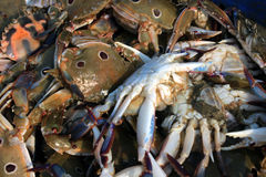The Dungeness crab, Metacarcinus magister formerly Cancer magister at fish market. Stock Images