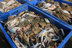 The Dungeness crab, Metacarcinus magister formerly Cancer magister at fish market. Stock Image