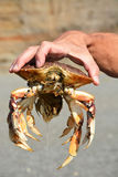 Dungeness Crab Stock Photography