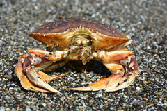 Dungeness Crab Royalty Free Stock Photo