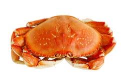 Dungeness-Krabbe Lizenzfreies Stockbild