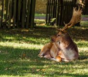 Dunham deer Royalty Free Stock Photos