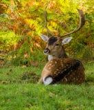 Dunham deer Stock Photos
