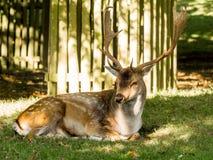 Dunham deer Royalty Free Stock Photo