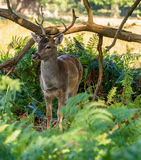 Dunham deer Royalty Free Stock Photography