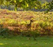 Dunham deer Royalty Free Stock Images