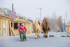 DUNHUANG, CHINA 11 DE MARÇO: Os camelos da ligação dois do proprietário o 11 de março, Fotografia de Stock