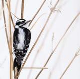 Dunig hackspett i snön Arkivfoto