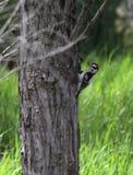 Dunig hackspett på sidan av ett träd Royaltyfri Bild