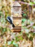 Duniga hackspettDryobates pubescens Royaltyfri Fotografi