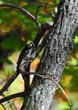 Duniga hackspettPicoidespubescens på trädslut upp Royaltyfri Bild
