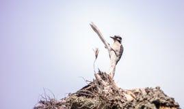 Duniga hackspettPicoidespubescens sätta sig på ett dött träd Fotografering för Bildbyråer