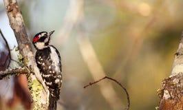 Duniga hackspettPicoidespubescens sätta sig på ett träd Fotografering för Bildbyråer