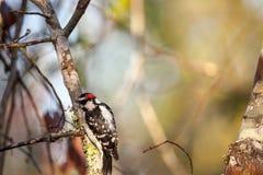 Duniga hackspettPicoidespubescens sätta sig på ett träd Arkivfoton