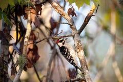 Duniga hackspettPicoidespubescens sätta sig på ett träd Arkivfoto
