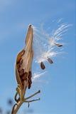 Dunigt Asclepiasfrö som blåser i vinden royaltyfria bilder