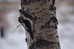 Dunigt hackspettsammanträde i ett träd arkivfoto
