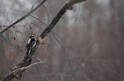 Dunigt hackspettsammanträde i ett träd royaltyfri bild