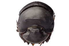 Dunk beetle Stock Photos