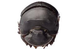 Dunk beetle stock photos