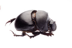 Dunk beetle Royalty Free Stock Photos