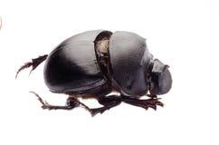 Dunk beetle royalty free stock photos