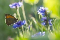 Dunkel ängbrunt för fjäril på en blommig blåklint mot solljus Mjuk fokus, grund DoF Royaltyfri Foto