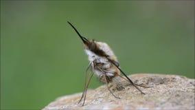 Dunkel-angrenzende bedeutende bewegliche Proboscis Bienenfliege Bombylius und Vorbereiten für Flug stock video footage