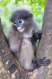 Dunkel bladapa, glasögonprydd Langur i Thailand Royaltyfria Bilder