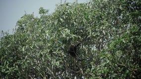 Dunkel bladapabanhoppning på ett träd Äta löst liv för bananen stock video