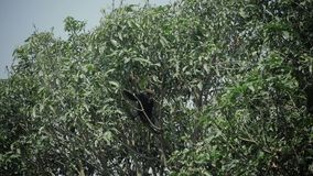 Dunkel bladapabanhoppning på ett träd Äta löst liv för bananen arkivfilmer