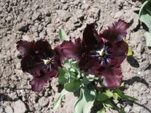 Dunkel-Burgunder plappert Tulpen nach Stockbild