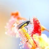 Dunkel-geflügelte pilzartige Mücke und allgemeiner Sonnentau Lizenzfreie Stockfotografie