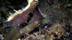 Dunkel-kopierte Krake auf dem Sand in der Nacht in Lembeh-Straße stock footage