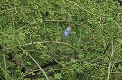 Dunkel-necked Tailorbird Orthotomus atrogularis Vogel Lizenzfreie Stockfotos