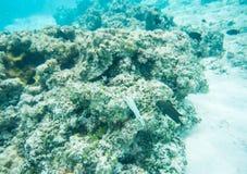 Dunkel Surgeonfish, dominobrickaung ogift kvinna och Threespot Wrasse Arkivbilder