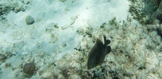 Dunkel Surgeonfish i Coral Reef Royaltyfria Bilder