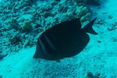 Dunkel surgeonfish med unik svart tropisk fisksimning i korallreven Royaltyfri Foto