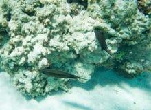 Dunkel Surgeonfish och Coral Growth Fotografering för Bildbyråer