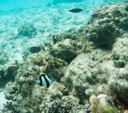 Dunkel Surgeonfish och Tre-gjord randig Damselfish Royaltyfri Fotografi