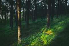Dunkel und schwermütig, magisch, Märchenkiefernwald stockfotografie