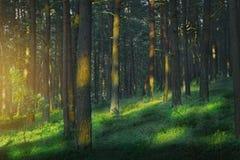 Dunkel und schwermütig, magisch, Märchenkiefernwald stockfotos