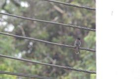 Dunkel-unterstützter Sibia-Vogel stock video footage