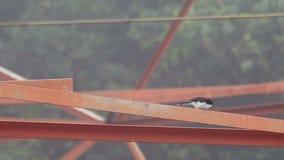 Dunkel-unterstütztes Sibia, das auf die Stange springt stock video footage