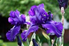 Dunkelblaue Iris Lizenzfreie Stockbilder